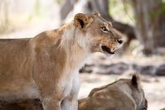 Lion Jaws - Okavango Delta - Moremi N.P. Royalty Free Stock Image