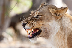 Lion Jaws - Okavango Delta - Moremi N.P. Angry Lion Growl at Okavango Delta - Moremi National Park in Botswana Royalty Free Stock Image