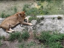 Lion Johor Bahru Zoo femenino fotos de archivo libres de regalías