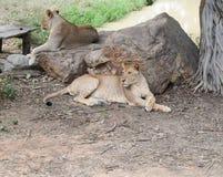 Lion jumeau Photographie stock