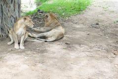 Lion jumeau Photo libre de droits