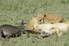 Lion with a just caught wildebeest Stock Image