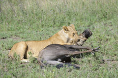 Lion with a just caught wildebeest Royalty Free Stock Photo