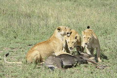 Lion with a just caught wildebeest Stock Photos