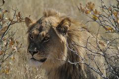 Lion of Kalahari Royalty Free Stock Photo