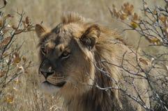 Lion of Kalahari Royalty Free Stock Photo