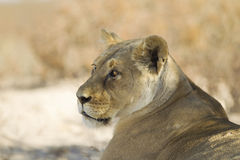 Lion in the kalahari Desert Royalty Free Stock Photography