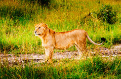 A lion, Kenya Royalty Free Stock Image