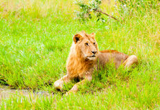 A Lion, Kenya Royalty Free Stock Images