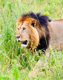 A lion, Kenya Royalty Free Stock Photography
