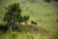 Lion in Kenya. Lion in Masai Mara Kenya royalty free stock photos