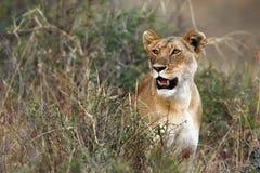 Lion. Kenya. Masai Mara. Travel for Animals Africa Stock Photos