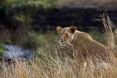 Lion. Kenya. Masai Mara. Travel for Animals Africa Royalty Free Stock Image