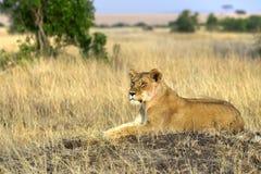 Lion. Kenya. Masai Mara. Travel for Animals Africa Royalty Free Stock Photos