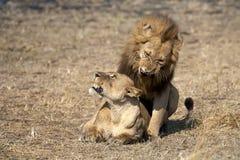 Lion. Kenya. Masai Mara. Travel for Animals Africa Stock Image
