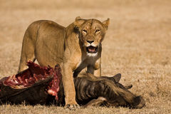 Lion kill Royalty Free Stock Photography
