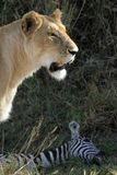 Lion at Kill. Lioness with dead zebra in background Stock Image