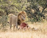 Lion With Kill. An adult male Lion protecting his kill in Southern African savanna Royalty Free Stock Image