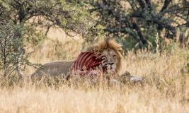 Lion With Kill. An adult male Lion protecting his kill in Southern African savanna Stock Images