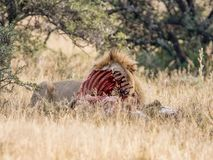 Lion With Kill. An adult male Lion protecting his kill in Southern African savanna Stock Photo