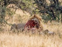 Lion With Kill. An adult male Lion protecting his kill in Southern African savanna Royalty Free Stock Photos