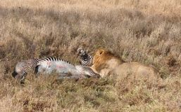 A lion kill of a grevy zebra 6 Royalty Free Stock Photo
