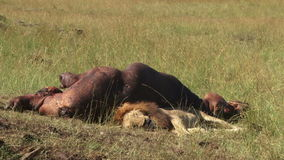 Lion with a kill of a hippopotamus. A big lion sleeping next to his hippo kill stock footage
