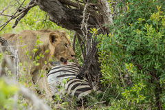 Lion on a kill South Africa royalty free stock photos