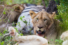 Lion at kill in South Africa Stock Photo