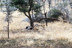 Lion killed a zebra Royalty Free Stock Images