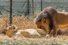 Lion kind of love Royalty Free Stock Photos