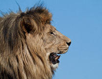 The Lion King. The lion (Panthera leo) is one of the four big cats in the genus Panthera, and a member of the family Felidae. With some males exceeding 250 kg ( Royalty Free Stock Photography