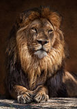 The Lion King. The lion (Panthera leo) is one of the four big cats in the genus Panthera, and a member of the family Felidae. With some males exceeding 250 kg ( Stock Photography