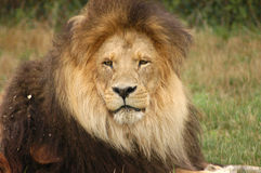 Lion King. A landscape portrait of a male lion Royalty Free Stock Image