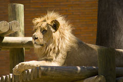 Lion King 2. A lion in a zoo in alert state Royalty Free Stock Photography