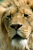 Lion King. Extreme close up of male lion Stock Photo