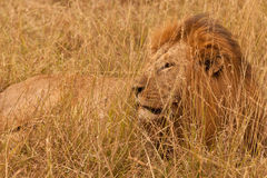 Lion King Stock Images