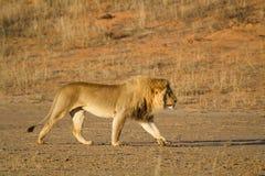 Lion king Stock Image