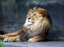 Lion King Royalty Free Stock Photography
