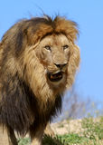 The Lion King Royalty Free Stock Photography