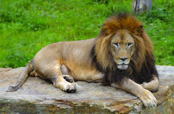 Lion King. African lion lying on a flat stone Stock Photography