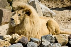 The Lion King. Male Lion in the Zoo, enjoying the sunshine royalty free stock image