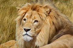 Portrait of lion Stock Photography