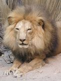 Lion King. The king of lion Stock Images