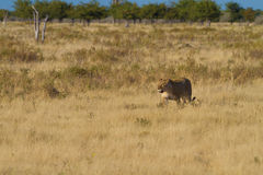 Lion the King of Africa. Free african lion in serengeti africa Stock Photos