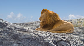Lion the King of Africa Stock Photography