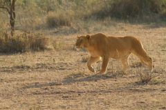 Lion the King of Africa Royalty Free Stock Images