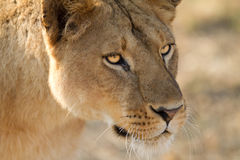 Lion the King of Africa. Free african lion in serengeti africa Royalty Free Stock Image