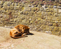 Lion King Animal Resting Royaltyfri Fotografi