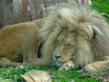 Lion the king of animals is resting royalty free stock photography